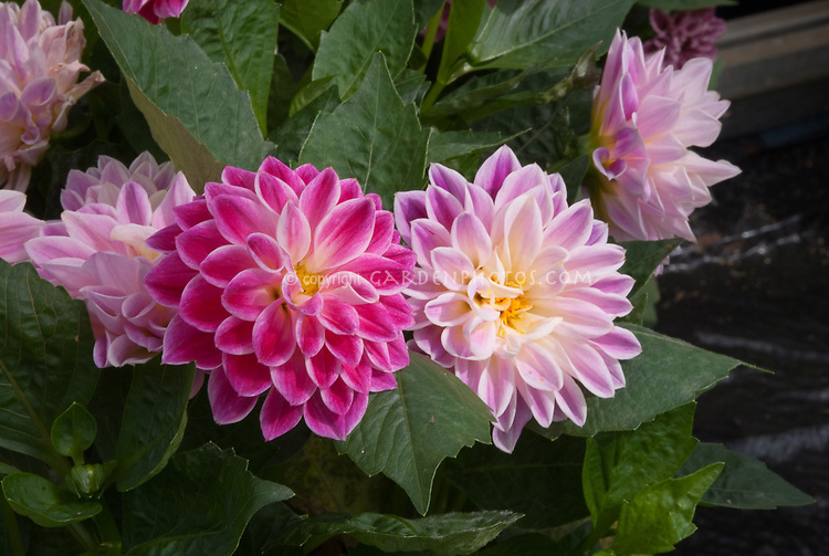 Dahlia Dahlietta Surprise Louise