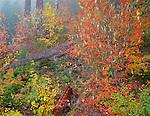Mount Rainier National Park,  WA  <br /> Fall colors on a Vine Maple (Acer cirinatum) on a foggy hillside