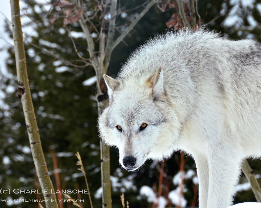 A grey wolf watches other pack members during a cold December day in Montana.