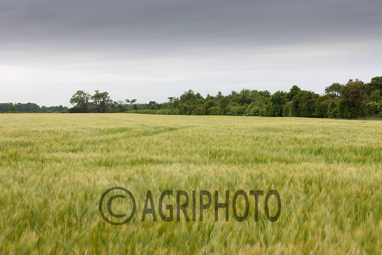 A field of Winter Barley<br /> Picture Tim Scrivener 07850 303986<br /> tim@agriphoto.com<br /> ?.covering agriculture in the UK?.