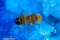 1D05-005d   Fruit Fly - wingless and white eyed male - Drosophila melanogaster