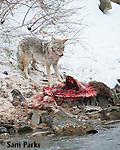 Coyote feeding on carcass during winter. Yellowstone National Park, Montana.