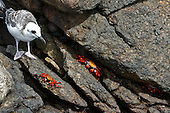 Juvenile Swallow-tailed Gull with three Sally Lightfoot crabs on brown and grey lava rocks in the Galapaogs Islands. The bright red and gold Sally Lightfoot crabs stand out against the dark lave rocks and one of the crabs is peeking out from under a rock.