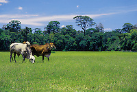 Grazing next to untouched forest -  cattle raising is one of the most devastating economic activities to the Atlantic rainforest in Brazil - economic develpment causing environmental degradation.