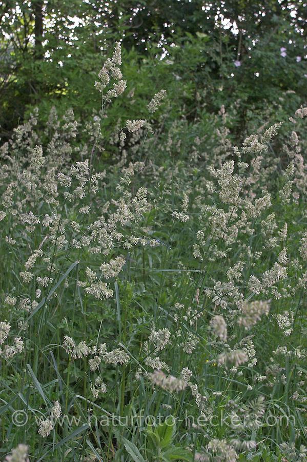 Wiesen-Knäuelgras, Wiesenknäuelgras, Knäuelgras, blühend, Dactylis glomerata, Cocksfoot, Orchard Grass, Dactyle