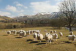 Sheep in a pasture in Wales. In the background is the Ceemase wind farm.
