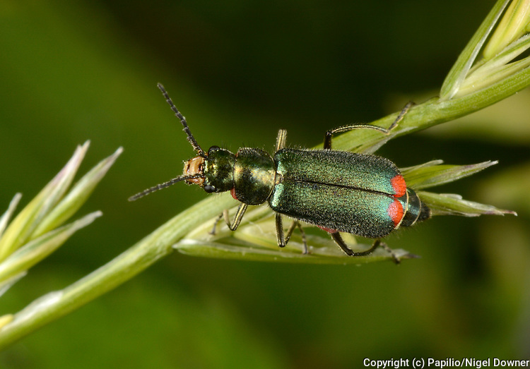 Close-up of a Red-tipped flower beetle (Malachius bipustulatus) showing the characteristic red tip to the abdomen resting on a grass stem in a Norfolk woodland habitat in summer