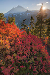 Mount Baker-Snoqualmie National Forest, WA:  A huckleberry bush in fall color lit by the setting sun on the rideline of Mount Baker from Artists Ridge Trail.