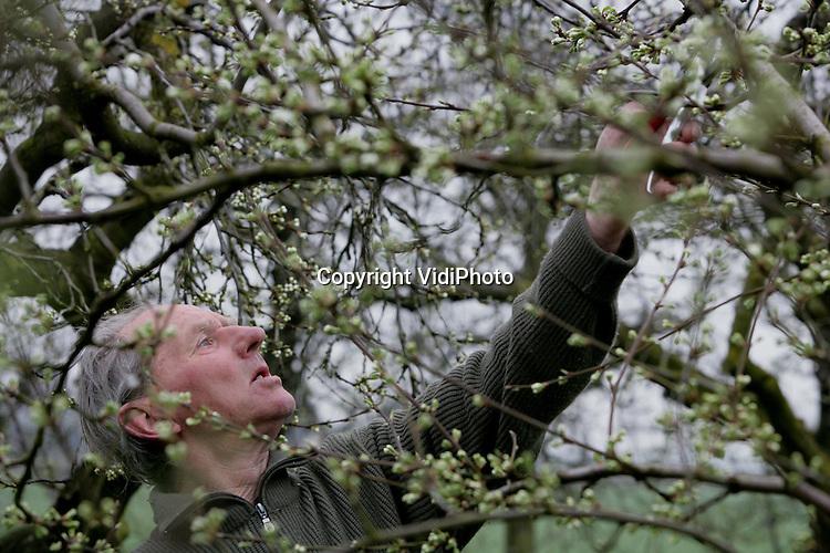 Foto: VidiPhoto..HERVELD - Theo van Meurs uit Herveld snoeit verwijdert vrijdag de dode takken uit de pruimenboomgaard van fruitteler Toon Villiers uit Wely. De bloesemknoppen zijn inmiddels al goed zichtbaar in de bomen, waardoor direct duidelijk is welke takken dood zijn en verwijderd kunnen worden. Van Meurs doet dat nog op de ouderwetse wijze, met handzaag en handsnoeischaar.