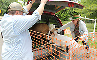 NWA Democrat-Gazette/DAVID GOTTSCHALK Jason Estes (left) and Connie Rieper-Estes, with Greedy Goats of Northwest Arkansas load Tuesday, July 9, 2019, seven goats up in a van to depart Wilson Park in Fayetteville. Greedy Goats of Northwest Arkansas have been educating and entertaining park-goers while clearing invasive honeysuckle, privet, and other aggressive plants since they adopted Wilson Park in 2015. The goats will visit the park during the remainder of the week as the weather allows.