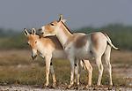 Indian wild asses showing affectionate behavior (Equus hemionus khur), dry season