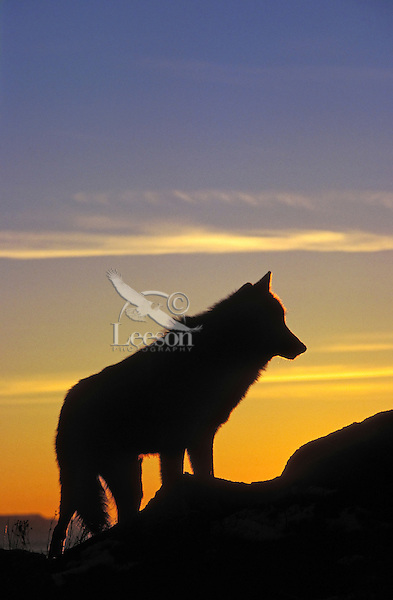 Gray Wolf at sunrise (Canis lupus). Rocky Mountains.
