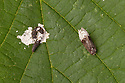 Birch Marble {Apotomis betuletana} (right) next to a bird dropping. This moth is an excellent bird-dropping mimic, giving it protection from predators. Surrey, UK. August.