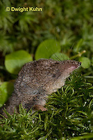 MU46-506z  Masked Shrew or Cinereus Shrew, Sorex cinereus