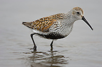 Dunlin; Calidris alpina; foraging for horseshoe crab eggs; NJ, Delaware Bay