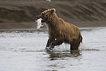 Brown Bear fishing near the mouth of Silver Salmon Creek in Lake Clark National Park, Alaska.