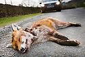 Dead Red Fox {Vulpes vulpes} on road with car in background, Cumbria, UK. March.