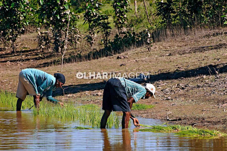 Plantação de arroz em várzea. Tufilândia. Maranhão. 2008. Foto de Rogério Reis.