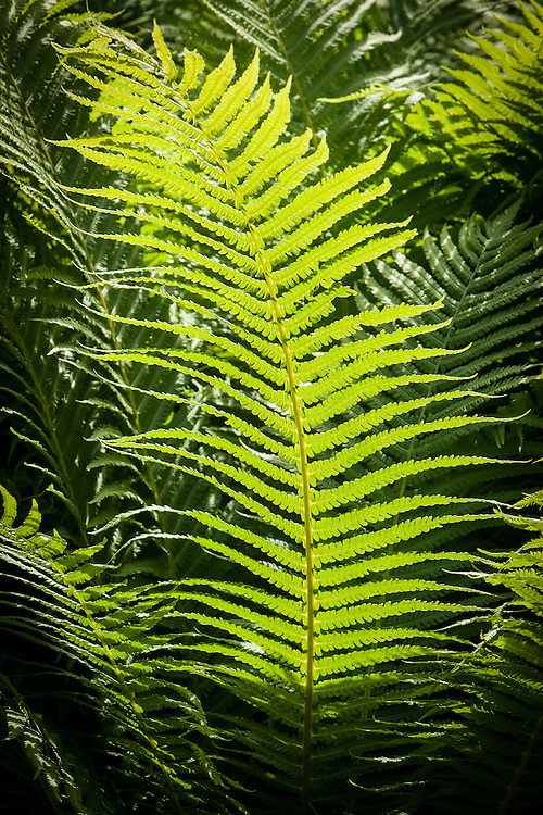 """Polystichum aculeatum 'Acutilobum', mid May. A form of Hard Shield Fern. 'Aculeatus' means """"prickly"""" and 'Acutilobum' means """"with sharply pointed lobes""""."""