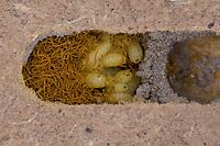 Taufliege, Larven, Maden, Fliegenmaden und Kotschnüre im Innern einer parasitierten Brutzelle der Mauerbiene, Essigfliege, Fruchtfliege, Cacoxenus indagator, Obstfliegen, Taufliegen, Drosophilidae, Futterparasit, Parasit, bei der Rostroten Mauerbiene, Osmia bicornis, an Wildbienen-Nisthilfe, drosophilid fly, Houdini fly, parasite of solitary bees, Red Mason Bee
