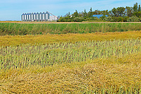 Canola crop and grain binns<br /> Lang<br /> Saskatchewan<br /> Canada