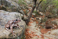 Eastern Barking Frog, Eleutherodactylus augusti latrans, adult in limestone canyon, Uvalde County, Hill Country, Texas, USA, April 2006
