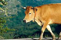 Picos de Europa, Viehauftrieb nahe Enol-See, Asturien , Spanien