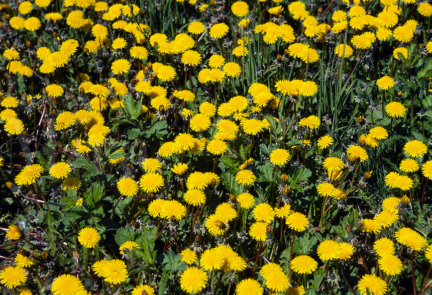 Field of dandelions.
