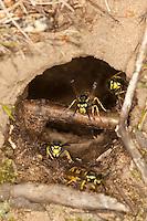 Deutsche Wespe, Wespennest in einem unterirdischen Mäuseloch, Faltenwespe, Vespula germanica, Paravespula germanica, German wasp