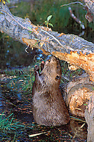 Beaver eating bark off cottonwood tree it has fallen.  Fall. Western U.S.
