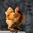 23/11/12 - MONTLUCON - ALLIER - FRANCE - Concours National Avicole de Montlucon. Poule Brahma fauve herminee bleu. Eleveur Pascal Bove - Photo Jerome CHABANNE