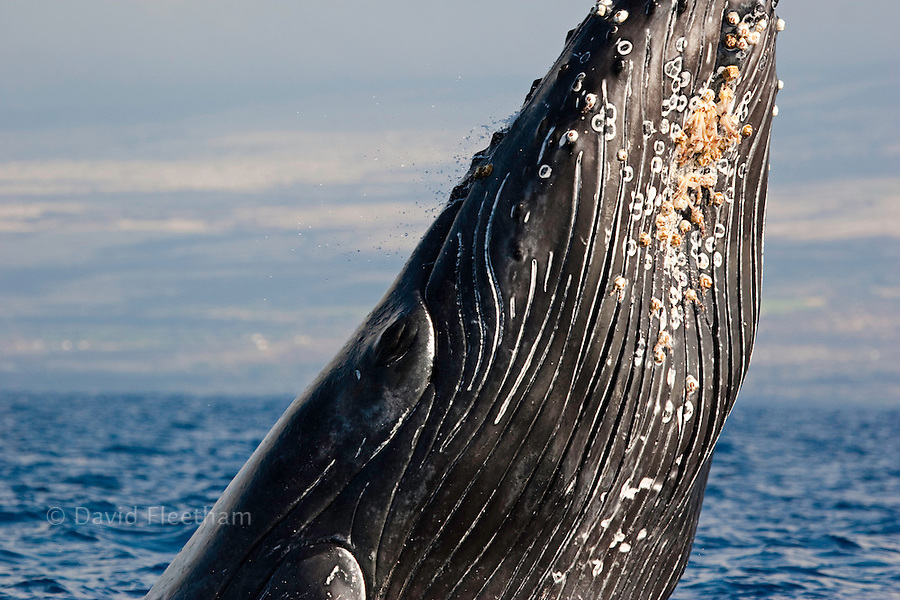 A close look at the pleats and barnacles on a breaching humpback whale, Megaptera novaeangliae, Hawaii.