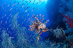 A lionfish, Pterois volitans, hunts baitfish near a black coral bush, Antipathes sp., Raja Ampat, West Papua province, Indonesia, Pacific Ocean
