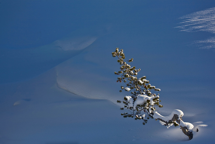 A lone pine tree surrounded by snow in Yellowstone National Park, Wyoming