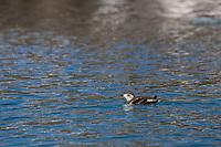 Kittlitz's Murrelet in breeding plumage swims in the waters of Nellie Juan Lagoon in Prince William Sound. The bird is listed on the critically endangered species list.