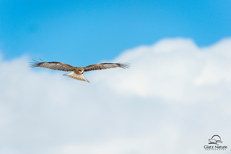 Harrier glides over a meadow as it hunts for small rodents.  Northern Japan.