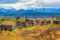 Barren ground caribou migrate over the autumn tundra in Denali National Park, Alaska