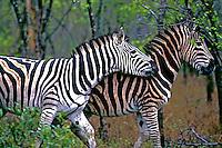 Animais. Mamiferos. Zebras (Equus zebra). Kruger Park. Foto de Ricardo Azoury.