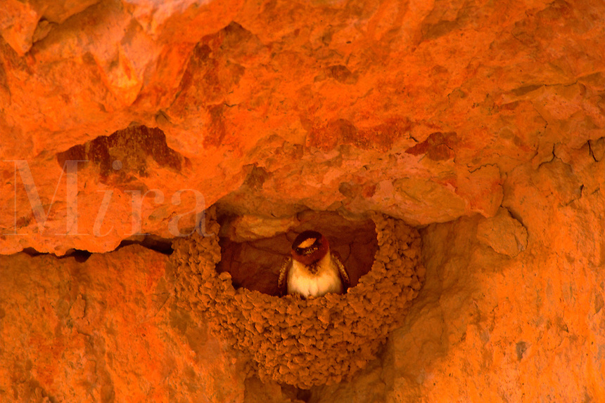 Canyon swallow in nest on rock face. Utah, Bryce Canyon National Park.