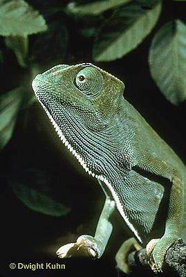 CH05-015t  African Chameleon - portrait - Chameleo senegalensis