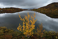 Mountain birch in autumn and small mountain lake at Aigert hut, Kungsleden trail, Lapland, Sweden
