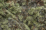 Lichen, Tennessee Valley, Mill Valley, Bay Area, California