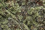 Lichen, Tennessee Valley, Mill Valley, Bay Area, California