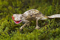 The Satanic leaf-tailed gecko  (Uroplatus phantasticus), native to the rainforests of eastern Madagascar, is a master of disguise with a body that superbly mimics dead leaves. Captive.