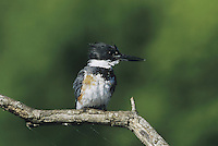 Belted Kingfisher (Megaceryle alcyon), female perched, Sinton, Coastel Bend, Texas, USA