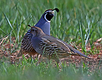 Pair of California quail