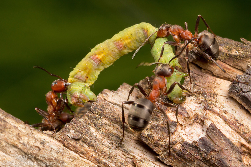 Wood Ants {Formica rufa} carrying caterpillar back to their nest for the colony to eat. Nordtirol, Austrian Alps. July.