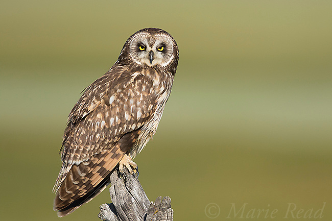 Short-eared Owl (Asio flammeus) adult female perched on rustic fencepost, northern Utah, USA