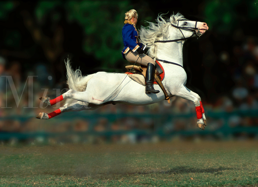 A Lipizzaner stallion with rider performs a capriole during an outdoor performance. #544 Lipizzan Capriole.
