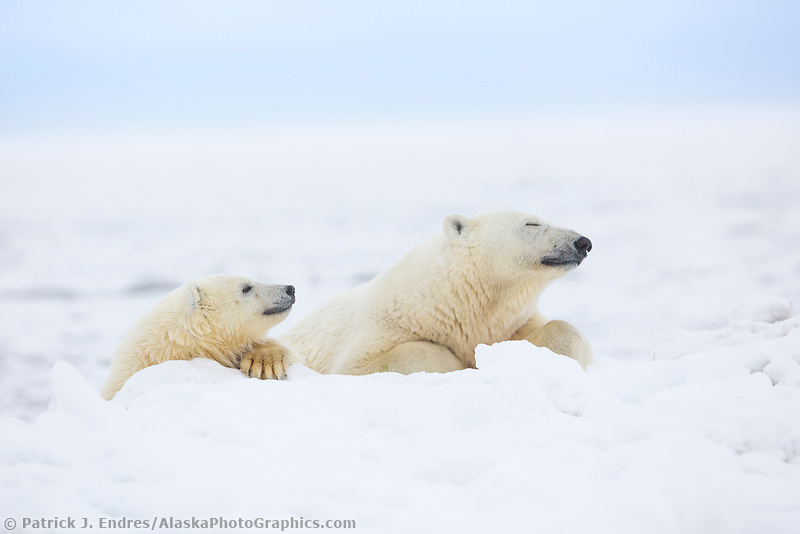 Polar bears on the Beaufort Sea ice, Arctic, Alaska.
